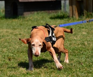 Manchmal kann es eben nicht schnell genug gehen. Tierheimhunde, die im Zwinger oder Auslauf leben, sind auf Spaziergängen natürlich voller Tatendrang.